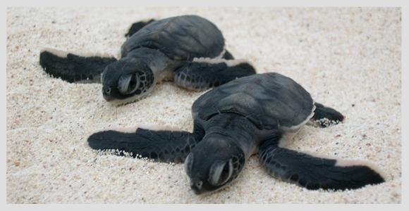 plan b viajero, flora fauna y cultura, tortugas marinas
