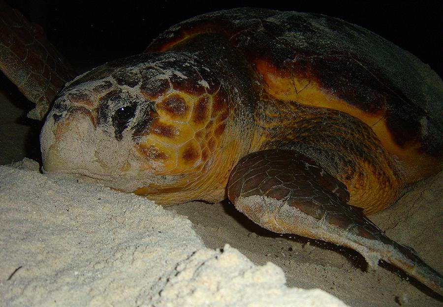 plan b viajero, voluntariado con tortugas marinas en la riviera maya, tortuga caguama