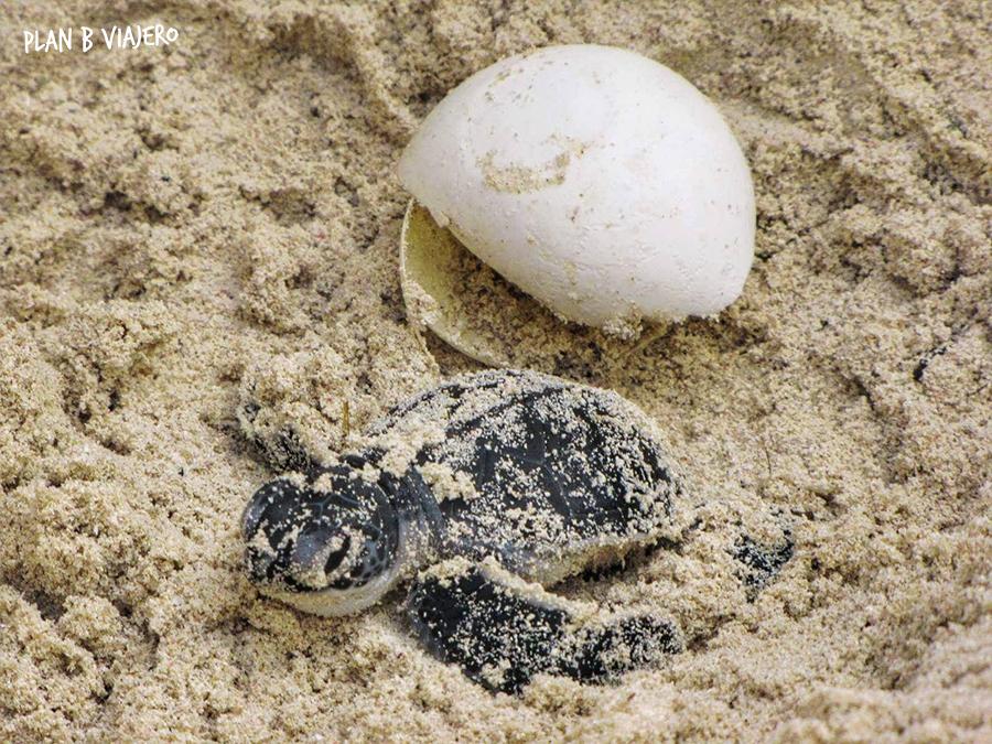 plan b viajero, voluntariado con tortugas marinas en la riviera maya, tortugas marinas recien nacida